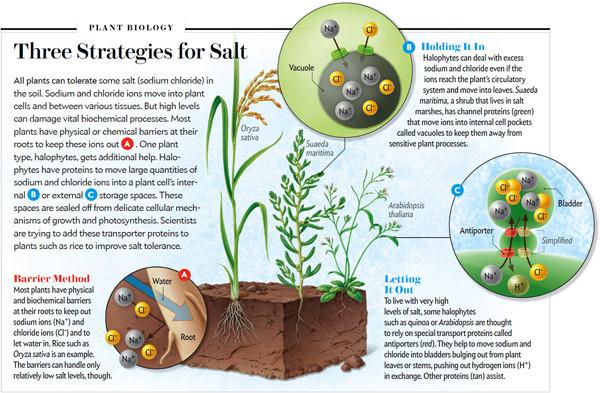 Drie manieren waarop een plant met zout om kan gaan (SciAm juli 2016)